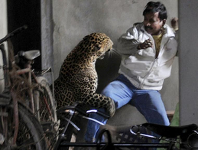 Leopord Attacke Indien