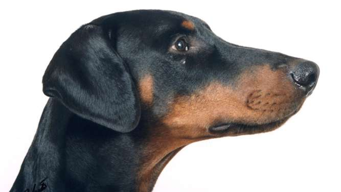 Dobermann Attacke