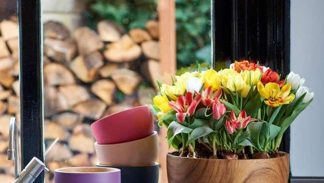 frisch ausgetriebene tulpe im topf braucht k hlen standort. Black Bedroom Furniture Sets. Home Design Ideas