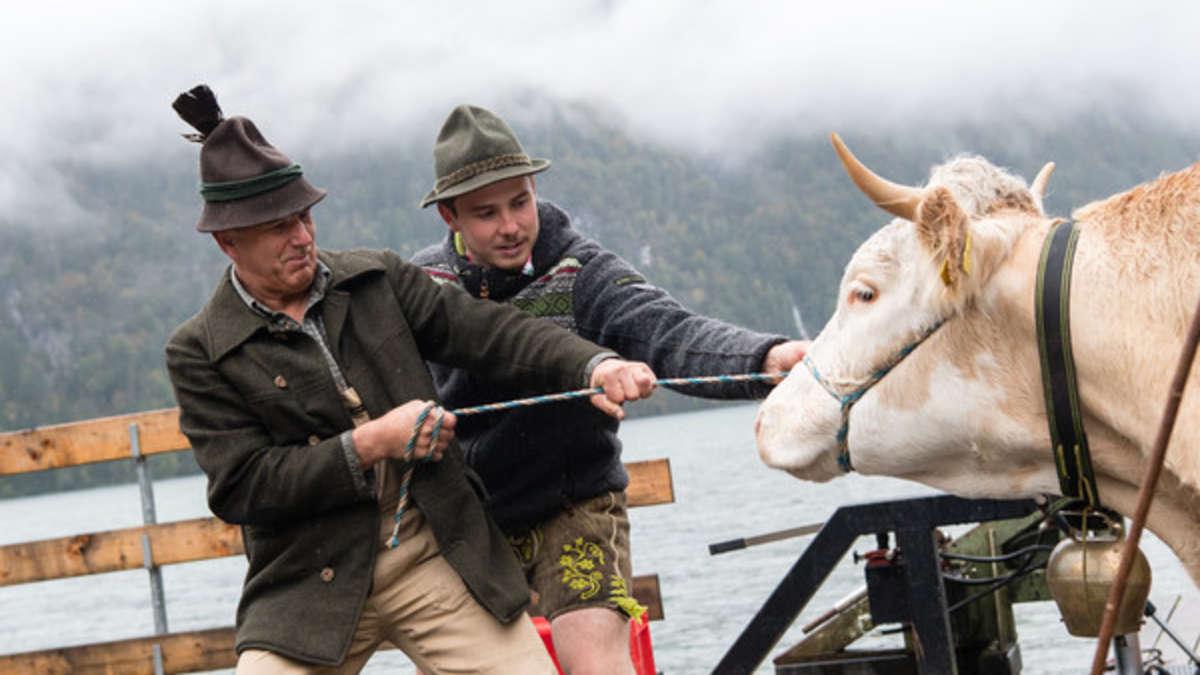 Almabtrieb am Königssee: Kühe per Schiff heimgeholt